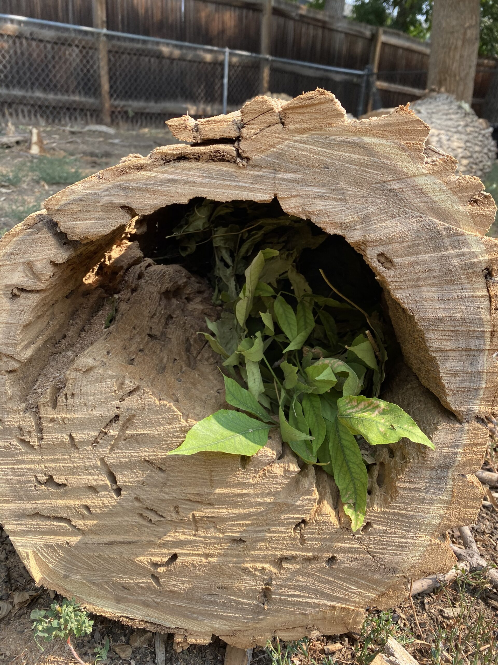 This is a cross section of the trunk. A plant was growing INSIDE the half of the dead tree that the termites had already eaten, while the wood in the other half of the trunk looks healthy.